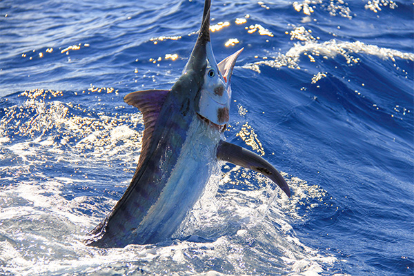 Image of blue marlin being caught on the Sunshine Coast