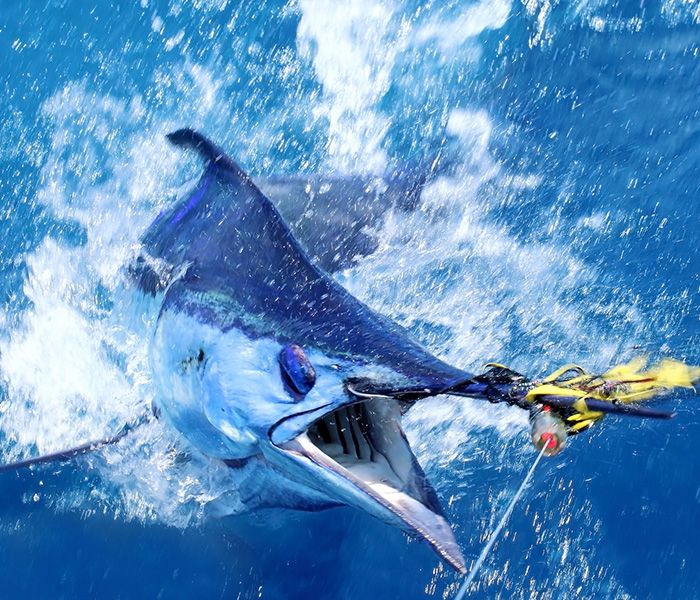 Image of a blue marlin being caught