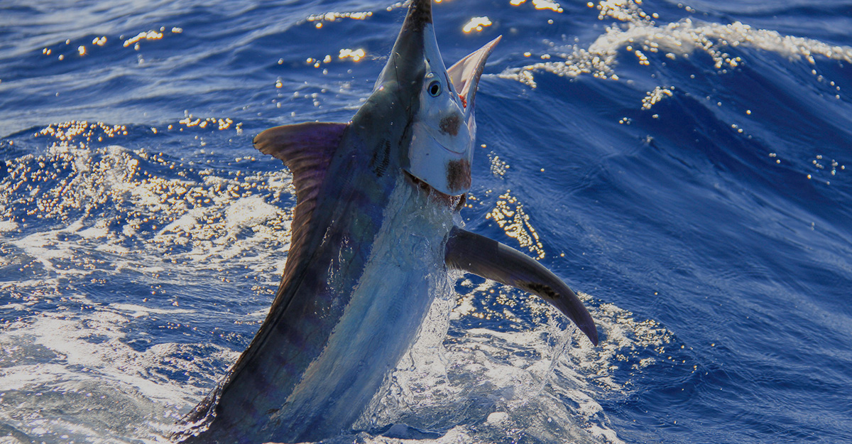 Image of marlin fishing on the Sunshine Coast