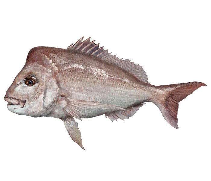 Image of snapper fish