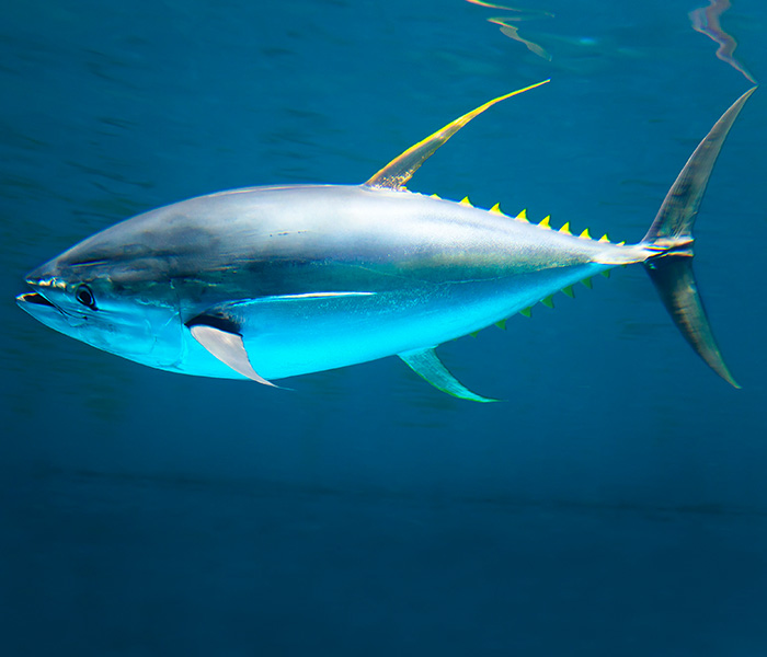 Image of Tuna Fish